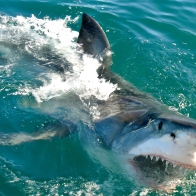 Fun Fact: Did you know that the Great White Shark gives birth to live young